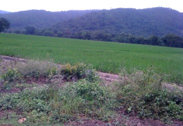 Rice Farm Agriculture in La Vega